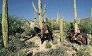 Tucson Arizona desert sceen, cowboys on horses