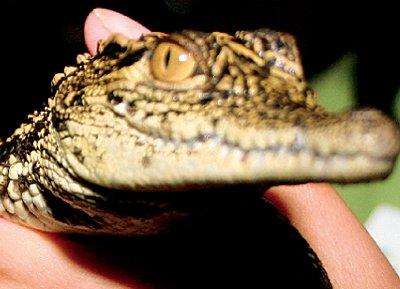 4657-alligator.jpg