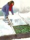 greens growing under snow in cold frame