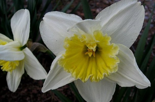 640px-Daffodils.jpg
