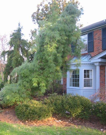 wheeping white pine.JPG