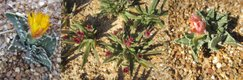 succulents in bloom.jpg