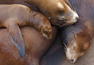 800px-California_Sea_Lions.jpg