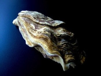 oyster-1024x768_5jfu.jpg