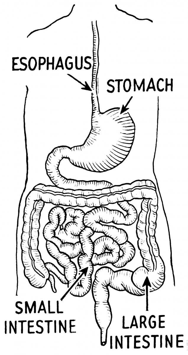 Alimentary_canal_(PSF).png