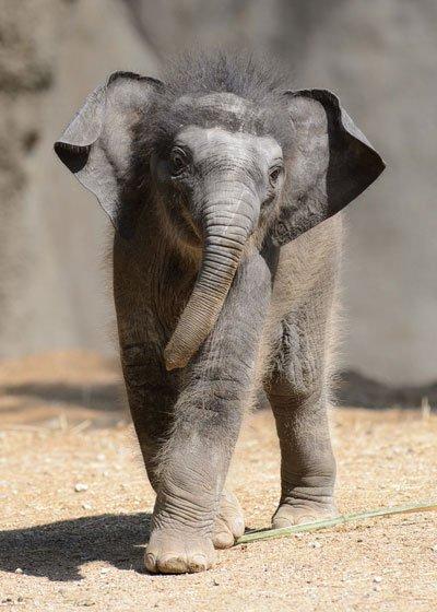 Through May 24: Priya's Debut at the Saint Louis Zoo