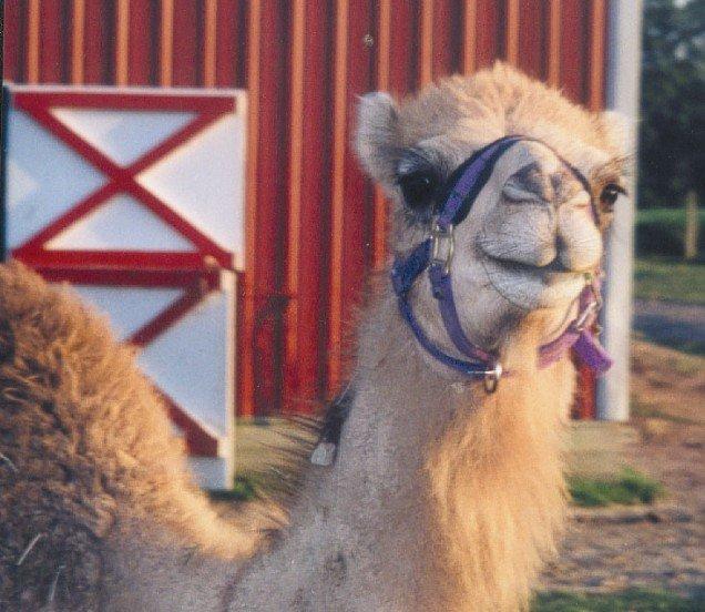 CamelCloseup.jpg