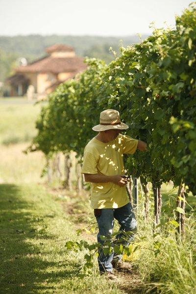 Harvesting-Chardonnay-Grapes_BlueSkyEmployee.jpg