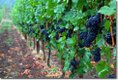 pinot-noir-vineyard.jpg