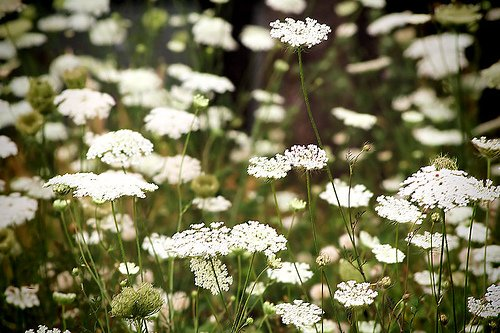 Queen Anne's Lace2.jpg
