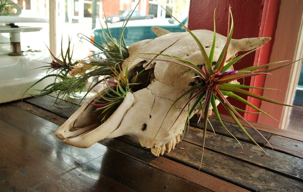 cow skull with succulents.jpg