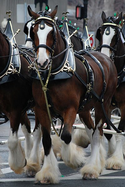 400px-Budweiser_Clydesdales_Boston.jpg