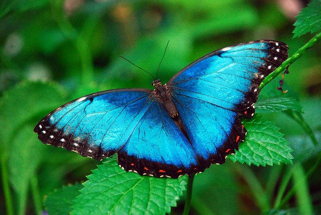 March Morpho Mania Returns to the Butterfly House