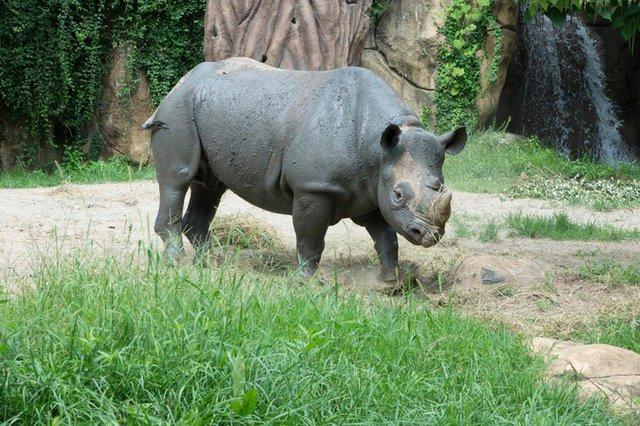 Black rhino male Ajabu_Saint Louis Zoo_web.jpg
