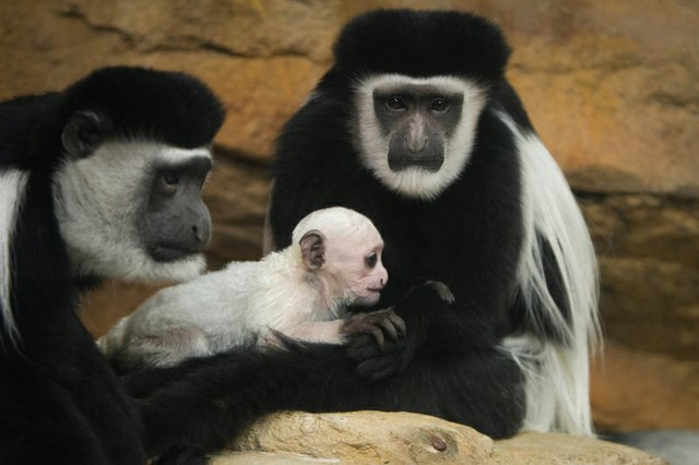 Cecelia Willow and Binti_colobus monkeys 2017_Ethan Riepl Saint Louis Zoo_5134_web.jpg