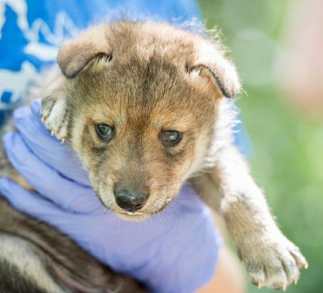 Mexican wolf male pup health check_Endangered Wolf Center.jpg