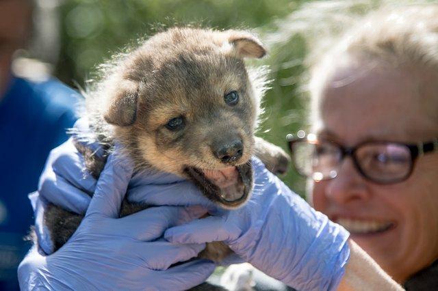 Vet Check Mexican wolf pup_Endangered Wolf Center.jpg
