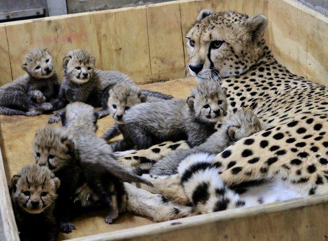 7_Cheetah cubs 3 weeks old 12-18-17_credit Carolyn Kelly Saint Louis Zoo_web.jpg