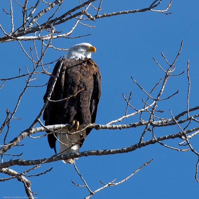 Bald Eagles Riverlands Roger Ottwell -1-22.JPG