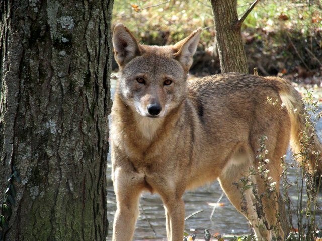 American red wolf.jpg