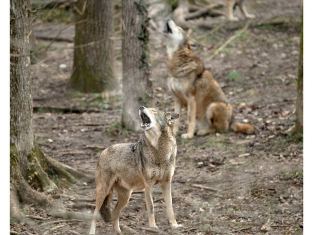 Group Holwing Response to howling enrichment at the EWC.jpg
