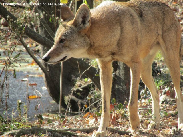 Red Wolf (Canis rufus) with EWC tag.jpg