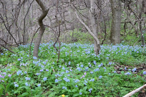bluebells with one trillium joann fricke.jpeg