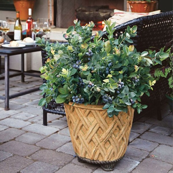 Blueberry Bushes In Porch Perfect Pots And Other Unique Container Plants