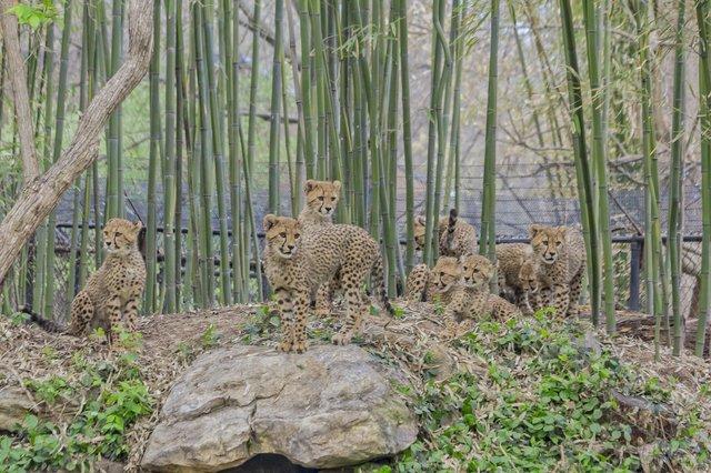 Cheetah cubs__4-26-18_Roger Brandt Saint Louis Zoo_067.jpg