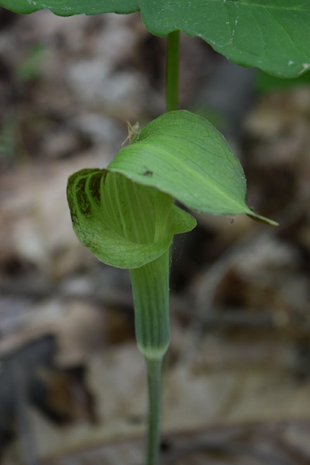 healthblog wildf jack-in-the-pulpit fricke.JPG