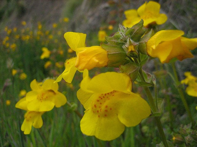 healthblog monkey flower flickr jinx mccombs.jpg