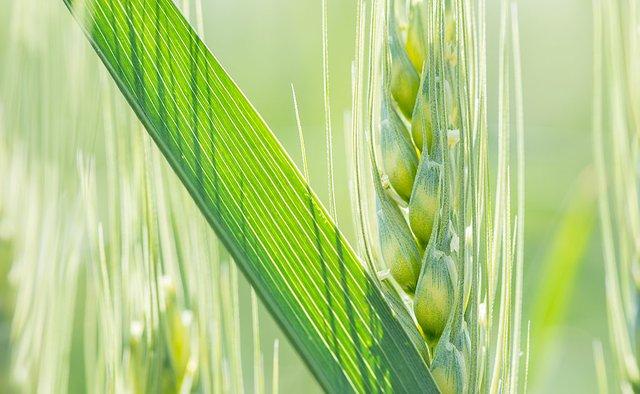 enlarge_Wheat-Diagonal_1273K.jpg