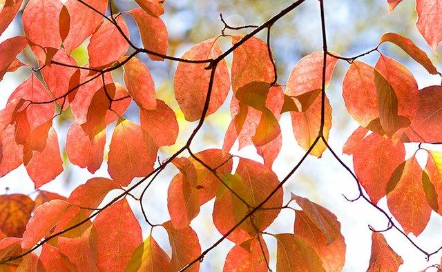 Dogwood-Leaves_7176.jpg