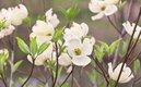 enlarge_Flowering-Dogwood_1688.jpg