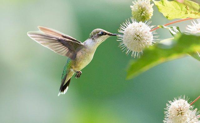 enlarge_Ruby-throated-Hummingbird_1237.jpg