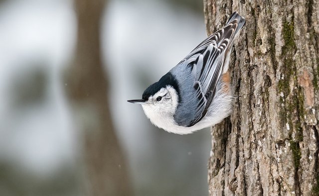 enlarge_White-breasted-Nuthatch_2349.jpg