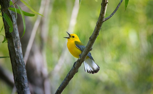Prothonotary-Warbler_623.jpg