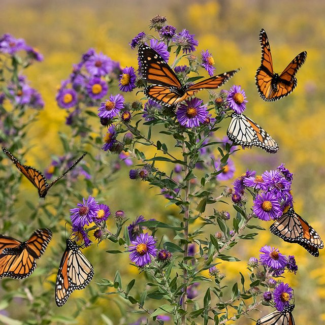 enlarge_Cloud-of-Monarchs_3371.jpg