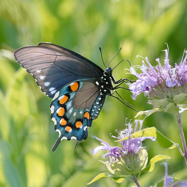 enlarge_Pipevine-Swallowtail_6802.jpg