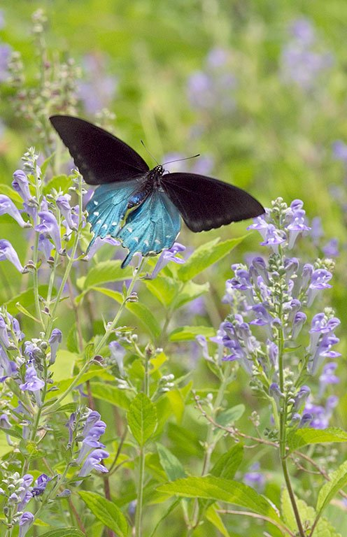 enlarge_Pipevine-Swallowtail_9070.jpg