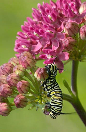 Monarch-Butterfly-Caterpillar_11726.jpg