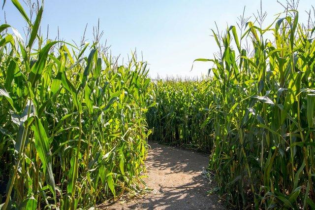 corn_maze.jpg