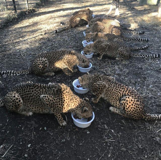 Bingwa and cheetah cubs eating_Nov 21 2018_Saint Louis Zoo_web.jpg