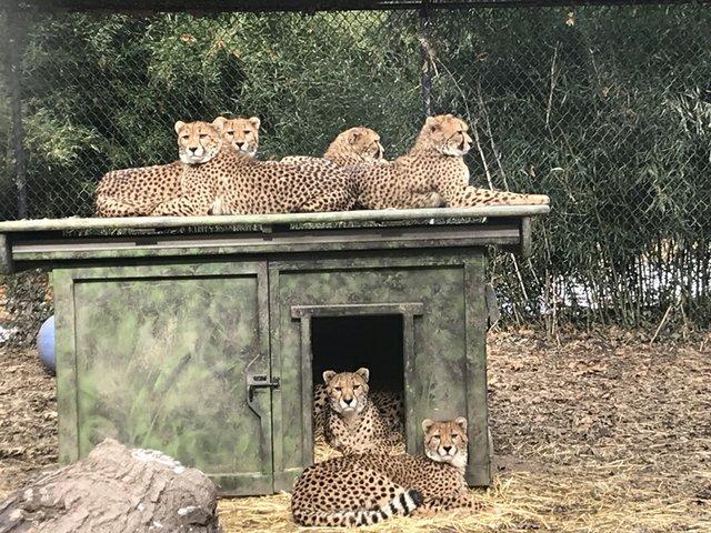 Bingwa and cheetah cubs_Nov 14 2018_Saint Louis Zoo_web.jpg