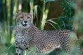 Cheetah cubs_15_Oct 2018_Robin Winkelman Saint Louis Zoo_web.jpg