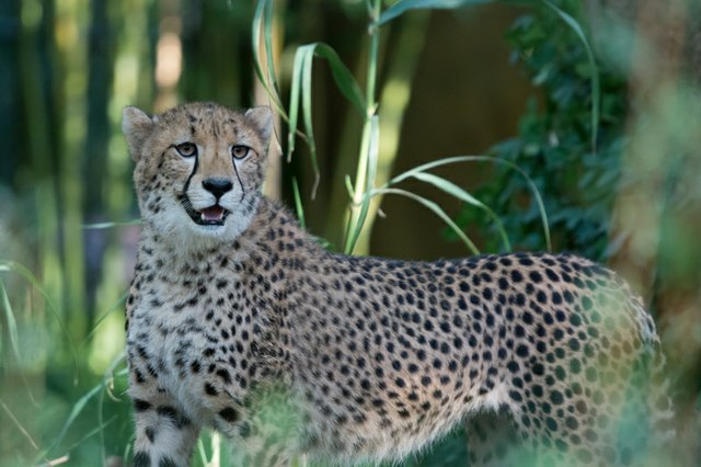 Saint Louis Zoo S Baby Cheetahs Turn 1 And You Re Invited To A