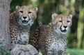 Cheetah cubs_21_Oct 2018_Robin Winkelman Saint Louis Zoo_web.jpg