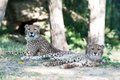 Cheetah cubs_29_Oct 2018_Robin Winkelman Saint Louis Zoo_web.jpg