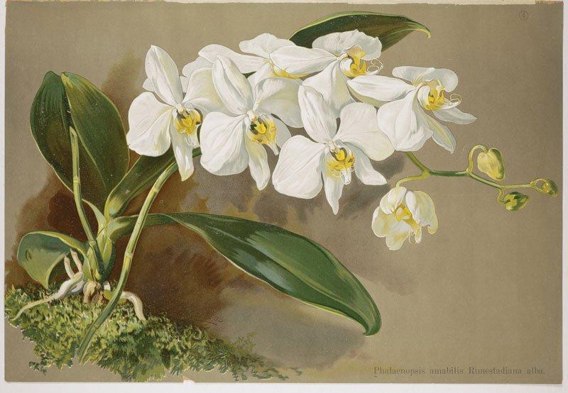 Missouri botanical garden 2019 orchid show four not to be - Orchid show missouri botanical garden ...