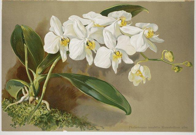 Phalaenopsis.jpg